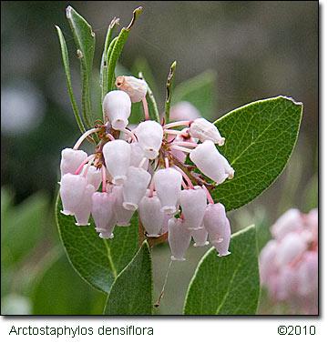 Arctostaphylos_densiflora031810_3