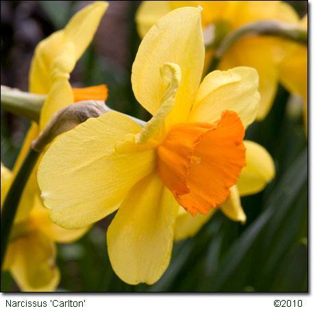 NarcissusCarlton031810_3