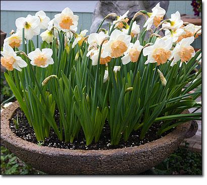 NarcissusMonCherie